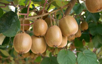 Fructele de kiwi produse în România – calități și posibilități de valorificare