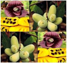 Noutate în România: Asimina cu gust unic și aromă de fruct tropical.